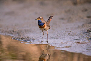 Bluethroat (Luscinia  cyanecula), male, Bayern, Germany. April  -  Hermann Brehm