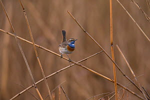 Bluethroat (Luscinia  cyanecula), male, Bayern, Germany. March  -  Hermann Brehm