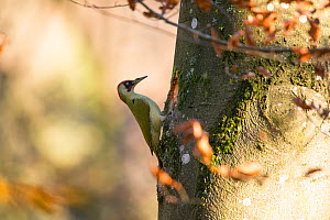 Green woodpecker (Picus viridis), male building nest, Bayern, Germany. November - Hermann Brehm