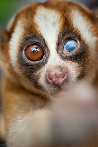 Javan slow loris (Nycticebus javanicus). Adult female with an injured eye, probably from a fight. Temporarily captive to fit a radio collar. Cipaganti, Garut, Java, Indonesia. - Andrew Walmsley