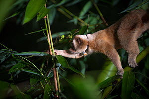 Javan slow loris (Nycticebus javanicus), foraging in the canopy. Adult wearing a radio collar, allowing scientists to study the local population. Cipaganti, Garut, Java, Indonesia. - Andrew Walmsley