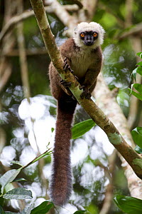 White-fronted brown lemur (Eulemur albifrons) in tree, Marojejy National Park,  Madagascar, December.  -  Lorraine Bennery