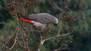 Congo african grey parrot (Psittacus erithacus) feeding on tamarind fruit in canopy, Maya Nord Bai, Odzala-Kokoua National Park, Cuvette-Ouest Region, Republic of Congo, 2001.  -  Jabruson Motion