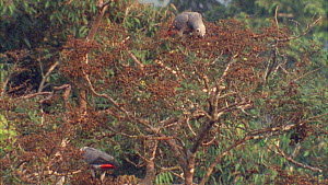 Congo african grey parrots (Psittacus erithacus) moving about in canopy, feeding on tamarind fruit, Maya Nord Bai, Odzala-Kokoua National Park, Cuvette-Ouest Region, Republic of Congo, 2001. - Jabruson Motion