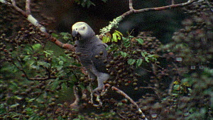 Congo african grey parrots (Psittacus erithacus) feeding on tamarind fruit, focus shifts from fruit to parrots, Maya Nord Bai, Odzala-Kokoua National Park, Cuvette-Ouest Region, Republic of Congo, 200... - Jabruson Motion