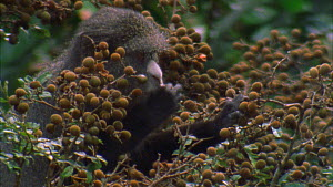 Close-up of a Putty-nosed monkey (Cercopithecus nictitans nictitans) feeding on tamarind fruit, Maya Nord Bai, Odzala-Kokoua National Park, Cuvette-Ouest Region, Republic of Congo, 2001. - Jabruson Motion