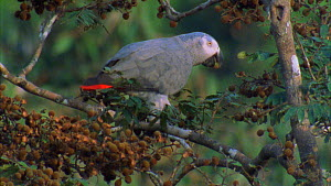 Congo african grey parrot (Psittacus erithacus) feeding on tamarind fruit, almost falls off branch, Maya Nord Bai, Odzala-Kokoua National Park, Cuvette-Ouest Region, Republic of Congo, 2001. - Jabruson Motion