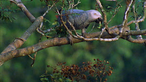 Congo african grey parrot (Psittacus erithacus) moving around in a tree whilst feeding on tamarind fruit, Maya Nord Bai, Odzala-Kokoua National Park, Cuvette-Ouest Region, Republic of Congo, 2001. - Jabruson Motion