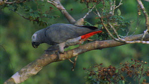 Congo african grey parrot (Psittacus erithacus) moving around in canopy, feeding on tamarind fruit, Maya Nord Bai, Odzala-Kokoua National Park, Cuvette-Ouest Region, Republic of Congo, 2001. - Jabruson Motion