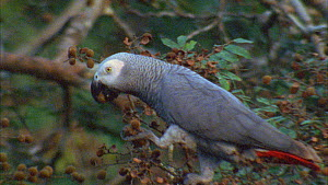 Close-up of a Congo african grey parrot (Psittacus erithacus) feeding on tamarind fruit, Maya Nord Bai, Odzala-Kokoua National Park, Cuvette-Ouest Region, Republic of Congo, 2001. - Jabruson Motion