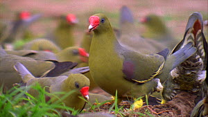 Close-up of African green pigeons (Treron calvus calvus) and Afep pigeons (Columba unicincta) eating soil in a forest clearing, Maya Nord Bai, Odzala-Kokoua National Park, Cuvette-Ouest Region, Republ...  -  Jabruson Motion