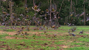 Mixed flock of African green pigeons (Treron calvus calvus) and Afep pigeons (Columba unicincta) taking off from a forest clearing, Maya Nord Bai, Odzala-Kokoua National Park, Cuvette-Ouest Region, Re... - Jabruson Motion