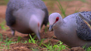 Close-up of an Afep pigeon (Columba unicincta) eating soil in a forest clearing, Maya Nord Bai, Odzala-Kokoua National Park, Cuvette-Ouest Region, Republic of Congo, 2001.  -  Jabruson Motion