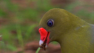 Close-up of an African green pigeon (Treron calvus calvus) eating soil in forest clearing, Maya Nord Bai, Odzala-Kokoua National Park, Cuvette-Ouest Region, Republic of Congo, 2001.  -  Jabruson Motion