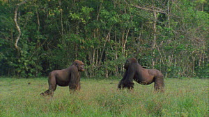 Two male Western gorillas (Gorilla gorilla) from different groups displaying at each other, Maya Nord Bai, Odzala-Kokoua National Park, Cuvette-Ouest Region, Republic of Congo, 2001.  -  Jabruson Motion