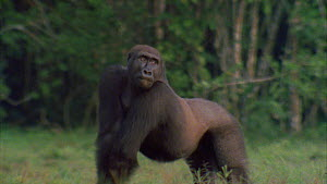 Male Western gorilla (Gorilla gorilla) displaying, Maya Nord Bai, Odzala-Kokoua National Park, Cuvette-Ouest Region, Republic of Congo, 2001.  -  Jabruson Motion