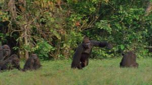 Male Western gorilla (Gorilla gorilla) displaying, charges towards other gorillas, Maya Nord Bai, Odzala-Kokoua National Park, Cuvette-Ouest Region, Republic of Congo, 2001.  -  Jabruson Motion