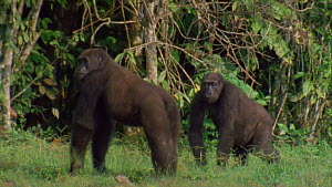 Male Western gorilla (Gorilla gorilla) displaying, runs towards another male, Maya Nord Bai, Odzala-Kokoua National Park, Cuvette-Ouest Region, Republic of Congo, 2001.  -  Jabruson Motion