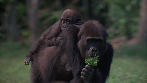 Western gorilla (Gorilla gorilla) eating soil, with female and infant in the background, infant climbing onto female's back, geophagia, Maya Nord Bai, Odzala-Kokoua National Park, Cuvette-Ouest Region...  -  Jabruson Motion