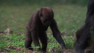 Juvenile Western gorilla (Gorilla gorilla) in bai, focus pull to female gorilla eating soil, Maya Nord Bai, Odzala-Kokoua National Park, Cuvette-Ouest Region, Republic of Congo, 2001.  -  Jabruson Motion