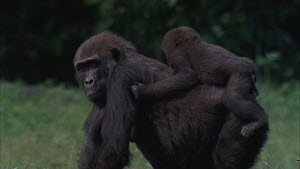 Female Western gorilla (Gorilla gorilla) with baby retreating from feeding after seeing an unknown silverback entering the bai, Maya Nord Bai, Odzala-Kokoua National Park, Cuvette-Ouest Region, Republ...  -  Jabruson Motion