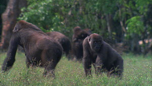Female Western gorilla (Gorilla gorilla) and infants walking towards forest, juvenile stops and looks around, Maya Nord Bai, Odzala-Kokoua National Park, Cuvette-Ouest Region, Republic of Congo, 2001.  -  Jabruson Motion