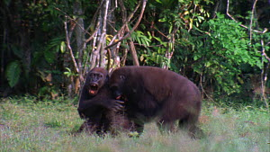 Male Western gorilla (Gorilla gorilla) grabbing, wrestling and biting a smaller male trying to run for forest cover, Odzala-Kokoua National Park, Cuvette-Ouest Region, Republic of Congo, 2001. - Jabruson Motion