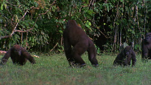 Slow motion clip of a male Western gorilla (Gorilla gorilla) running with a small branch in hand, hits nearby gorilla in passing, Maya Nord Bai, Odzala-Kokoua National Park, Cuvette-Ouest Region, Repu...  -  Jabruson Motion