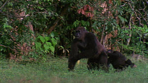 Slow motion clip of a male Western gorilla (Gorilla gorilla) charging through a family group and pushing over a juvenile, Maya Nord Bai, Odzala-Kokoua National Park, Cuvette-Ouest Region, Republic of...  -  Jabruson Motion