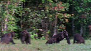 Male Western gorilla (Gorilla gorilla) charging through a family group and pushes over a juvenile, Maya Nord Bai, Odzala-Kokoua National Park, Cuvette-Ouest Region, Republic of Congo, 2001.  -  Jabruson Motion