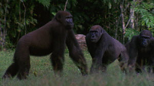 Slow motion clip of a male Western gorilla (Gorilla gorilla) charging through a family group and tries to push over a juvenile, Maya Nord Bai, Odzala-Kokoua National Park, Cuvette-Ouest Region, Republ...  -  Jabruson Motion