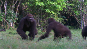Male Western gorilla (Gorilla gorilla) charging through a family group and pushing over a juvenile, Maya Nord Bai, Odzala-Kokoua National Park, Cuvette-Ouest Region, Republic of Congo, 2001.  -  Jabruson Motion