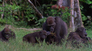 Panning shot of a Western gorilla (Gorilla gorilla) family group feeding, Maya Nord Bai, Odzala-Kokoua National Park, Cuvette-Ouest Region, Republic of Congo, 2001.  -  Jabruson Motion