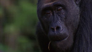 Close-up of a silverback Western gorilla (Gorilla gorilla) picking and eating grass in a clearing, Maya Nord Bai, Odzala-Kokoua National Park, Cuvette-Ouest Region, Republic of Congo, 2001.  -  Jabruson Motion