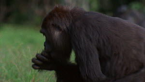 Close-up of a silverback Western gorilla (Gorilla gorilla) picking and eating grass in a clearing, shot pans to another gorilla, Maya Nord Bai, Odzala-Kokoua National Park, Cuvette-Ouest Region, Repub...  -  Jabruson Motion