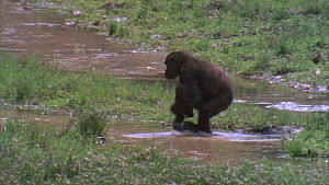 Female Western gorilla (Gorilla gorilla) crossing stream with an infant on her arm, Maya Nord Bai, Odzala-Kokoua National Park, Cuvette-Ouest Region, Republic of Congo, 2001.  -  Jabruson Motion