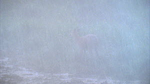 Female Marshbuck (Tragelaphus spekii) in a bai during a rainstorm, Maya Nord Bai, Odzala-Kokoua National Park, Cuvette-Ouest Region, Republic of Congo, 2001.  -  Jabruson Motion