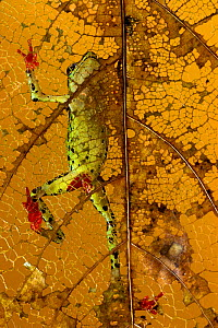 Pebas stubfoot toad (Atelopus spumarius) infected with chytrid  fungus, seen through leaf, Ecuador. Overall winner of the Nature Images Awards 2016.  -  Javier Aznar