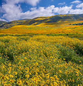 Massive wildflower display. Lanceleaf monolopia (Monolopia lanceolata)  and Orange fiddle neck  (Amsinckia intermedia) and the Temblor Range carpeted with flowers in the background. Carrizo Plain Nati...  -  Jack Dykinga