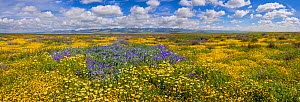 Massive wildflower display with Lanceleaf monolopia (Monolopia lanceleota) Tidy-tips (Layia platyglossa) Great Valley phacelia (Phacelia ciliata) and the Temblor Range carpeted with flower in the back... - Jack Dykinga