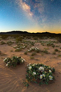 Joshua Tree National Park under the Milky Way, with night flowering Birdcage evening primrose (Oenthera deltoides) dotting the sandy flats. California, USA, March. - Jack Dykinga