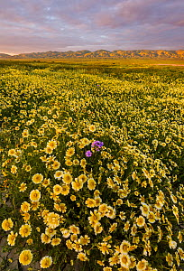 Mass wildflower display - Tidy-tips (Layia platyglossa) with solitary Great Valley phacelia (Phacelia ciliata) flower, and the Temblor Range carpeted with flower in the background in evening light. Ca... - Jack Dykinga