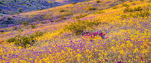 Whipple Mountain foothills, with sheets of color from blooming Heliotrope Phacelia (Phacelia crenulata) (purple) and Heartleaf evening primrose (Camissonia cardiophylla) with the Riverside and Big Mar...  -  Jack Dykinga