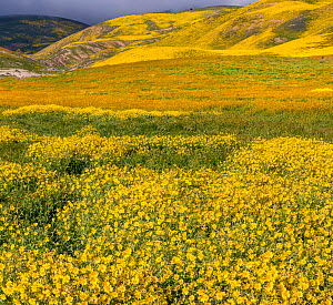 Massive wildflower display with Lanceleaf monolopia (Monolopia lanceleota) Tidy-tips (Layia platyglossa)  and the Temblor Range carpeted with flower in the background. Carrizo Plain National Monument,...  -  Jack Dykinga