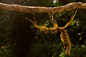 Moss mimic stick insect (Trychopeplus laciniatus) in Monteverde Cloud Forest Reserve, Costa Rica.  -  Jen Guyton