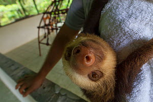 Two-toed sloth (Choloepus hoffmanni) hangs on the shoulder of its keeper at a sloth orphanage near Cahuita, Costa Rica.  -  Jen Guyton