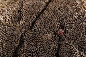 Tick embedded in the wrinkled skin of an African elephant (Loxodonta africana). The elephant was sedated by veterinarians to put a GPS collar on him. - Jen Guyton
