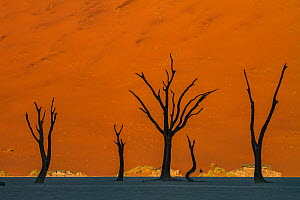 Dead trees stand in a salt pan in the Namib-Naukluft National Park at the Dead Vlei, Sossusvlei, Namibia.  -  Jen Guyton