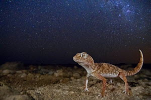 Giant ground gecko (Chondrodactylus angulifer), standing beneath the Milky Way near Swakopmund, Namibia. - Jen Guyton