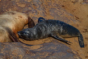 Cape fur seal (Arctocephalus pusillus) pup nursing from its mother, Cape Cross, Namibia.  -  Jen Guyton